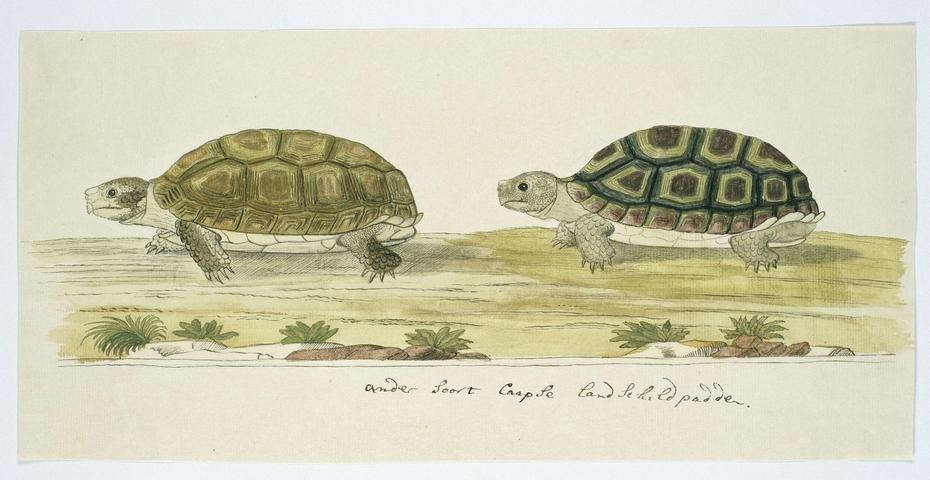 Twee Kaapse landschildpadden (Homopus areolatus)