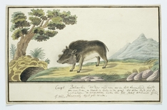 Wrattenzwijn (Phacochoerus aethiopicus) of een bosvarken: het mannetje