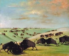 Buffalo Bulls Fighting in Running Season, Upper Missouri