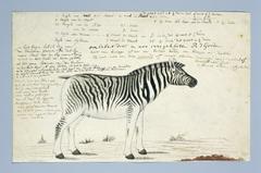 Burchell zebra (Equus quagga burchellii)