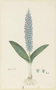 Lachenalia, met detailstudies van de bloeiwijze