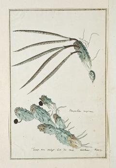 Pectinaria articulata en een studie met lange bladeren
