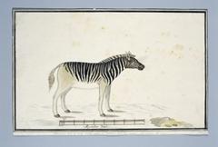 Burchell zebra (Equus burchellii)