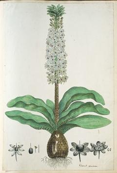 Eucomis humilis of kuifplant; met detailstudies van de bloeiwijze
