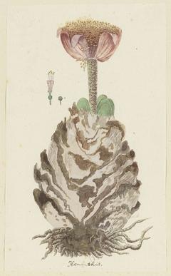 Haemananthus coccineus, in meer geopende toestand, met detailstudies van de bloeiwijze