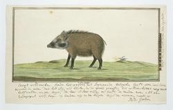 Bosvarken (Potomachoerus porcus), een jong vrouwtje