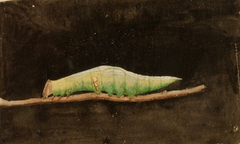 Larger Spotted Beach Leaf Edge Caterpillar, study for book Concealing Coloration in the Animal Kingdom