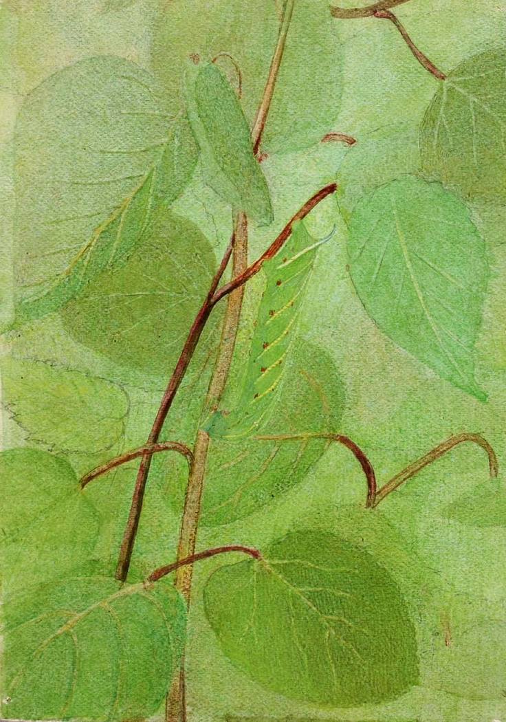 Sphinx Caterpillar, study for book Concealing Coloration in the Animal Kingdom