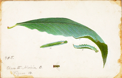 Unspotted Beach Leaf Edge Caterpillar, study for book Concealing Coloration in the Animal Kingdom