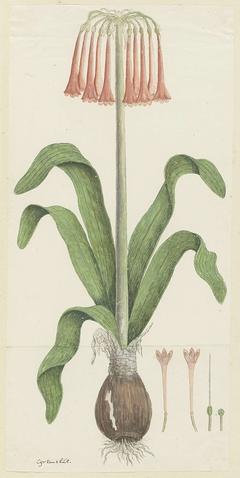 Cyrtanthus carneus, met detailstudies van de bloeiwijze