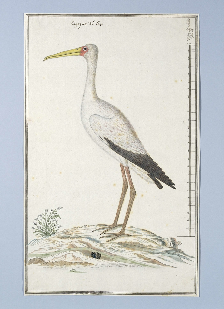 Nimmerzat (Mycteria ibis)