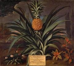 Pineapple grown in Sir Matthew Decker's garden at Richmond, Surrey