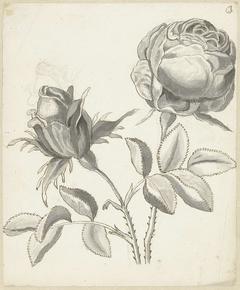Twee rozen