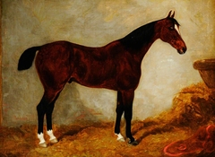 A Brown Horse in a Stable, with White Blaze and Three White Hocks