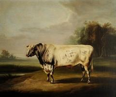 A Prize Grey Shorthorn Bull by a Pond