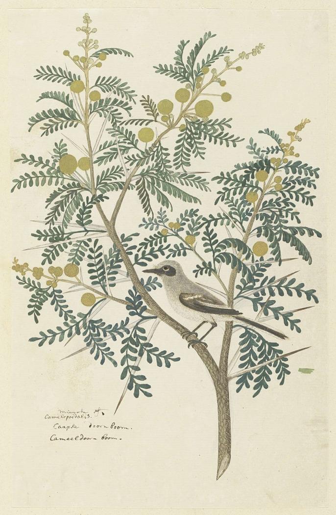 Acacia karroo met een Kaapse kwikstaart