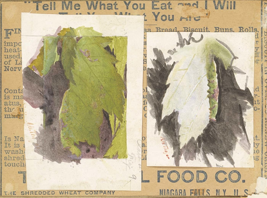 Heterocampa Biundata, Walker, study for book Concealing Coloration in the Animal Kingdom