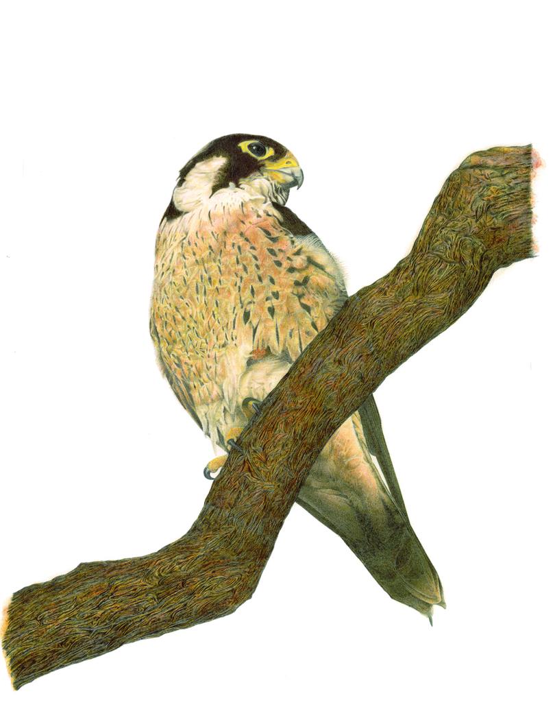Taita Falcon (Falco fasciinucha)