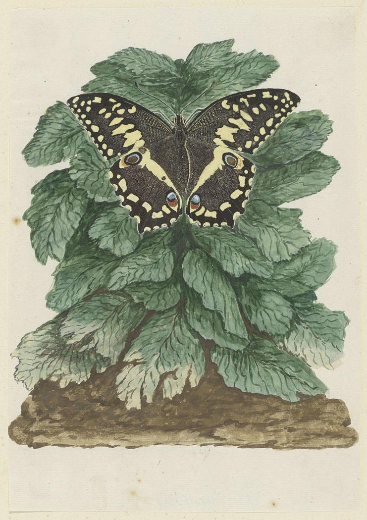 Vlinder (Papilio demodocus) op een ongeïdentificeerde plant