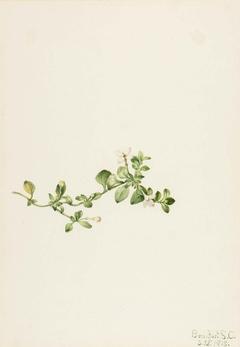 Trailing Houstonia (Houstonia procumbens)