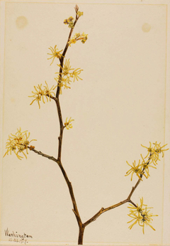 Witch-Hazel (Hamamelis virginiana)