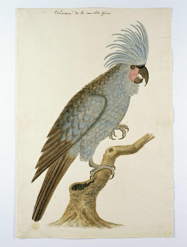 Blauwe papegaai met kuif