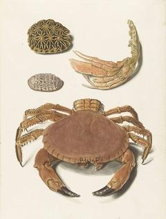 Een krab, een schaar van een krab en twee schilden van schildpadden