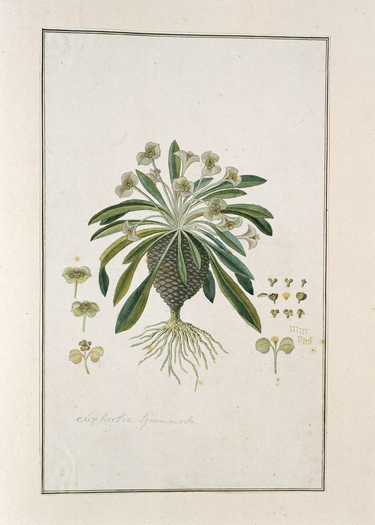 Euphorbia bupleurifolia; met diverse detailstudies van bloem en bol