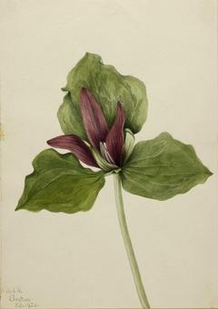 Giant Trillium (Trillium chloropetalum)