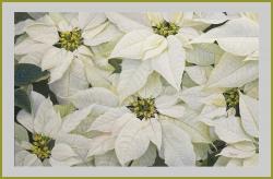 Harmony in white