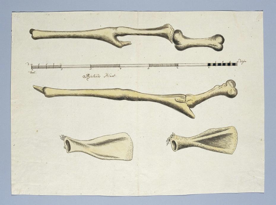 Skeletdelen van een giraf (Giraffa camelopardalis): de voor- en achterpoten