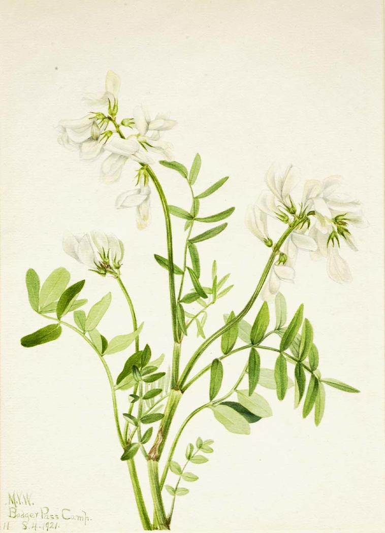 Sweetvetch (Hedysarum mackenzii)