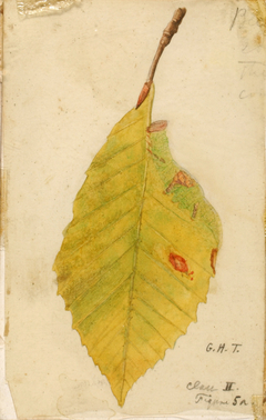 Crumpled and Withered Leaf Edge Mimicking Caterpillar, study for book Concealing Coloration in the Animal Kingdom