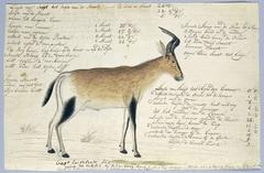 Hartebeest (Alcelaphus buselaphus)