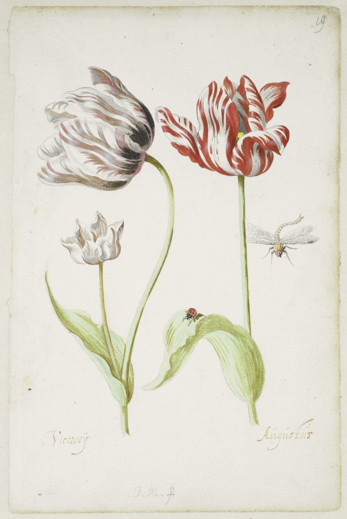 Two Tulips with Insects