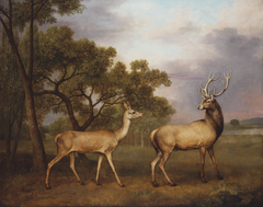 A Red Deer Buck and a Doe