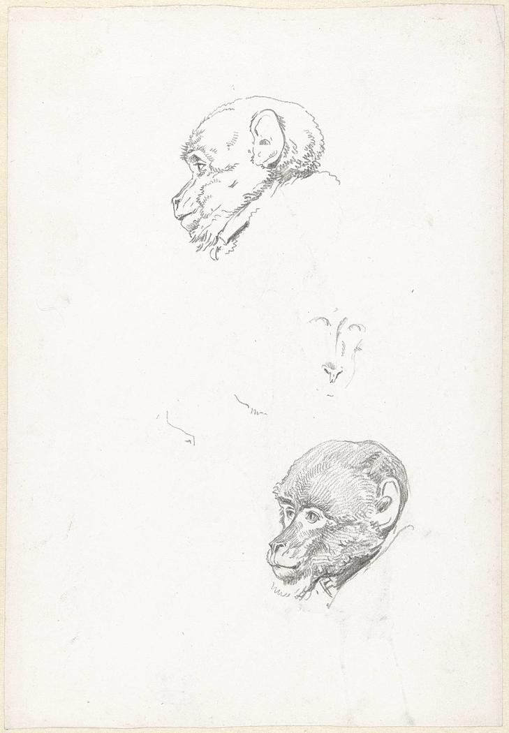 Studies van een apenkop
